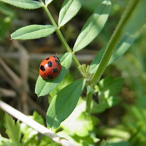 畑でてんとう虫に会いました