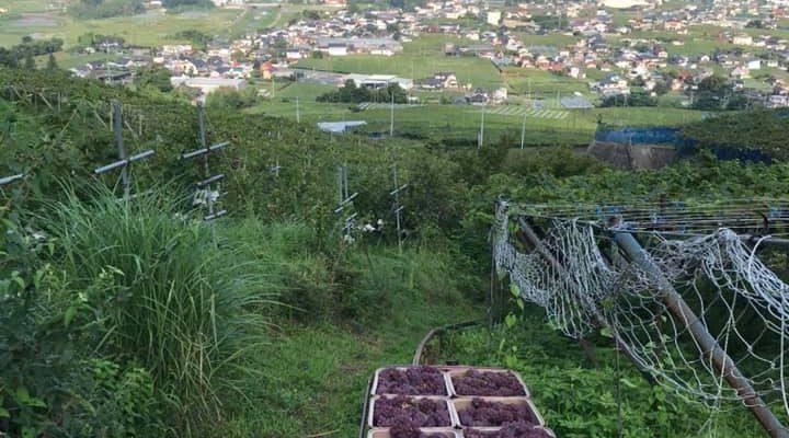 デラウェアー の収穫が始まりました。