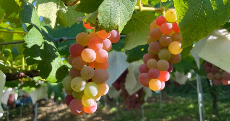 ワイン原料のデラウェアー